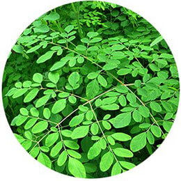 moringa leaves in Ojai Energetics full spectrum hemp elixir